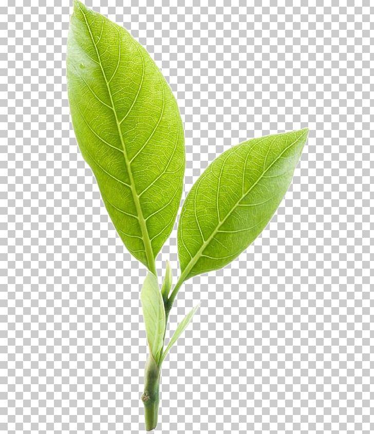Green Tea Mighty Leaf Tea Company PNG, Clipart, Camellia