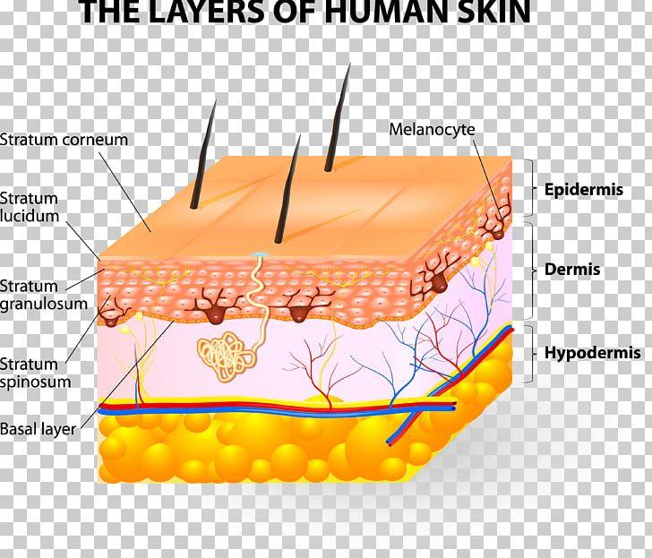 Human Skin Subcutaneous Tissue Epidermis Png  Clipart