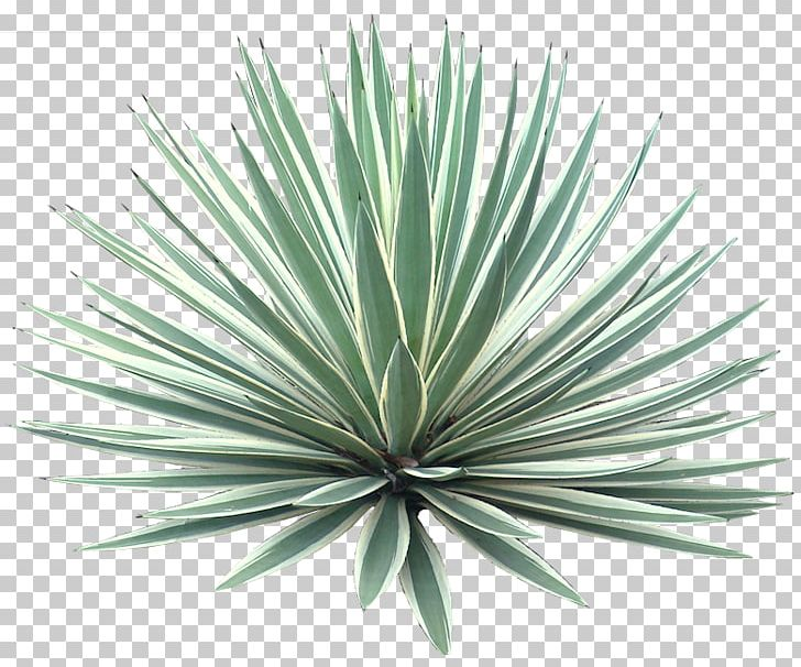 Agave Angustifolia Plant Tree Desert PNG, Clipart, Agave, Agave Angustifolia, Agave Azul, Agave Nectar, Aloe Free PNG Download