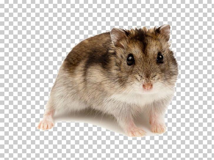 Campbell's Dwarf Hamster Rodent Golden Hamster Roborovski