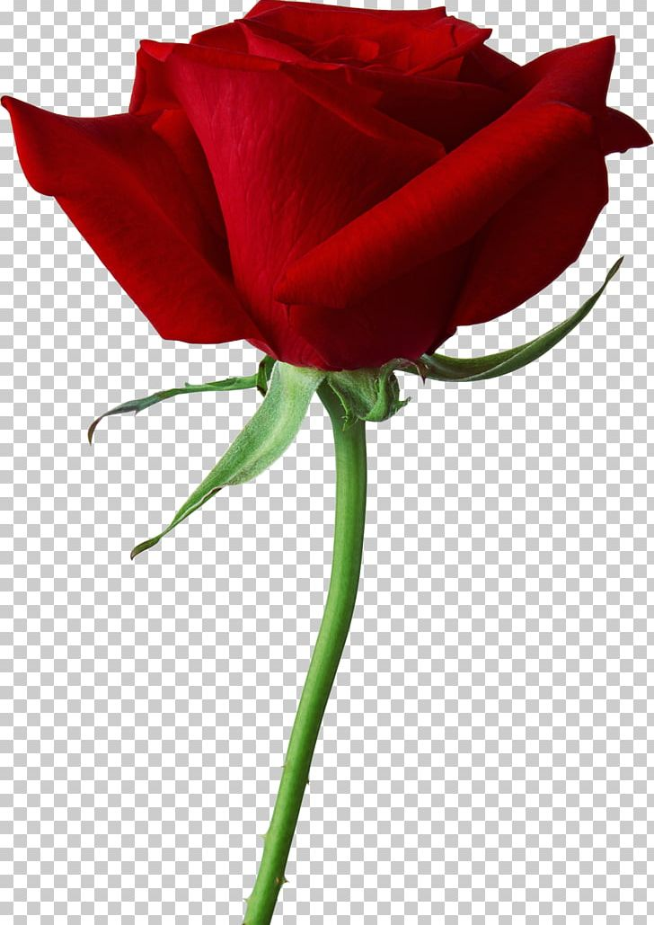 Rose Scalable Graphics PNG, Clipart, Color, Computer Icons, Cut Flowers, Desktop Wallpaper, Display Resolution Free PNG Download