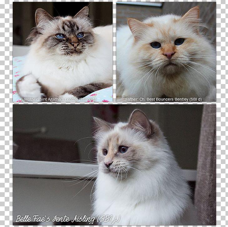 Asian Semi Longhair Birman Ragamuffin Cat Ragdoll Siberian