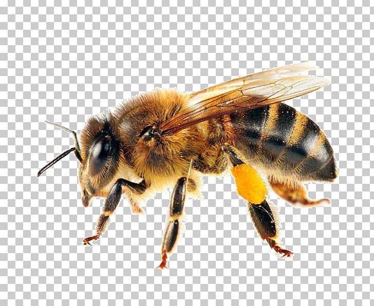Western Honey Bee Swarming Honey Bee Life Cycle Pollinator PNG, Clipart, Arthropod, Bee, Beehive, Beekeeping, Bee Removal Free PNG Download