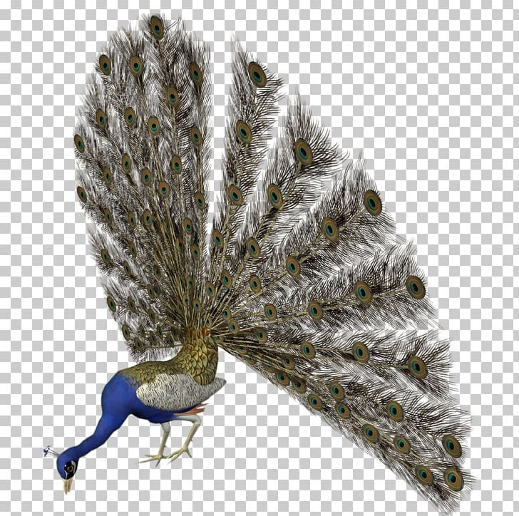 Asiatic Peafowl Bird Feather PNG, Clipart, Animals, Animals Birds, Asiatic, Asiatic Peafowl, Beak Free PNG Download