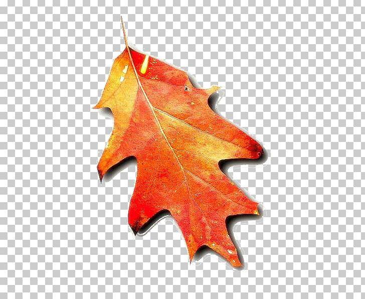Autumn Leaf Color Tree PNG, Clipart, Ash, Autumn, Autumn Leaf Color, Birch, Boxelder Maple Free PNG Download