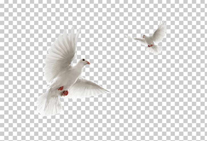 Columbidae Rock Dove Flight Bird PNG, Clipart, Animals, Beak, Bird