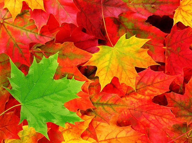 Desktop Autumn Leaf Color Autumn Leaf Color Nature PNG, Clipart, 4k Resolution, 720p, 1080p, Autumn, Autumn Leaf Color Free PNG Download