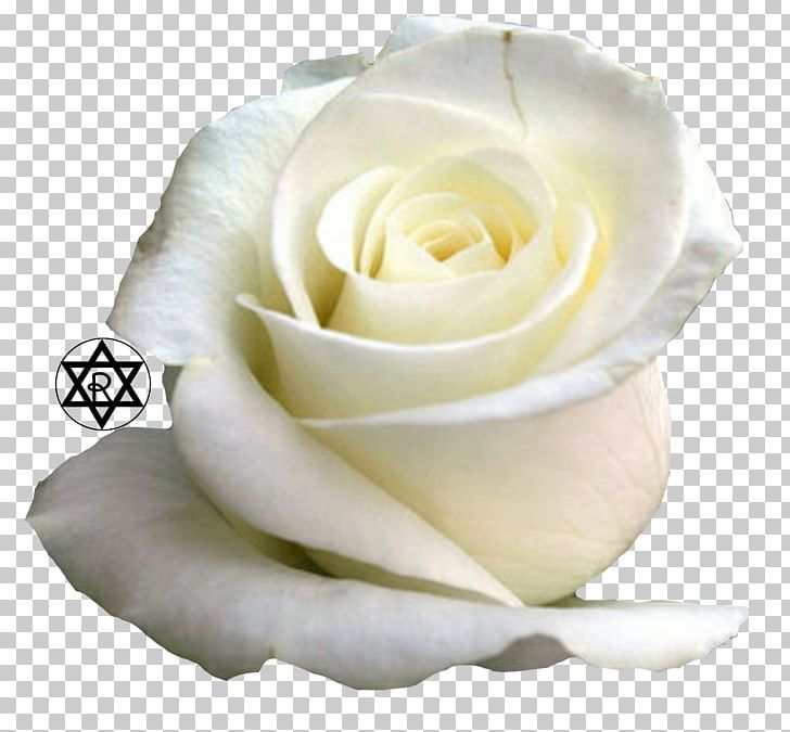 Rose Flower Desktop White Png Clipart Blue Color Cut Flowers