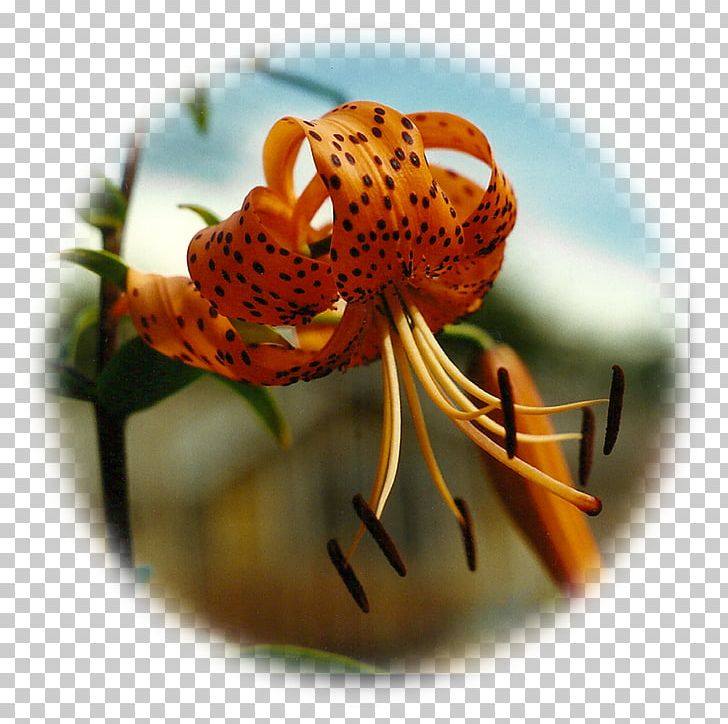 Lilium Circle Flower Medicine Wheel Petal Png Clipart Balance