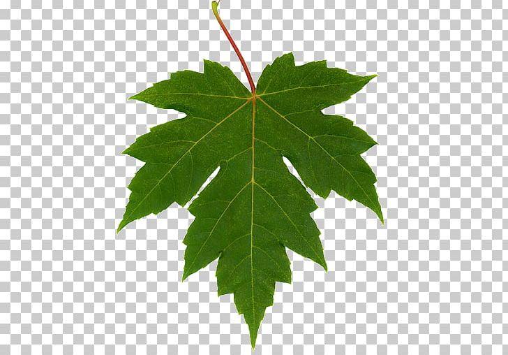 Autumn Leaf Color Maple Leaf Chestnut Oak PNG, Clipart, Autumn Leaf Color, Chestnut Oak, Clip Art, Grape Leaves, Leaf Free PNG Download