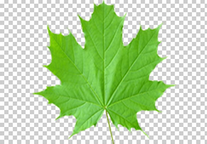 Maple Leaf Sugar Maple Acer Shirasawanum PNG, Clipart, Acer Japonicum, Acer Shirasawanum, English Dictionary, Green, Green Leaf Free PNG Download