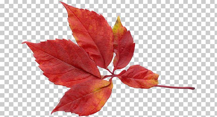 Leaf Autumn Leaves PNG, Clipart, Autumn, Autumn Leaf, Autumn Leaves, Branch, Clip Art Free PNG Download