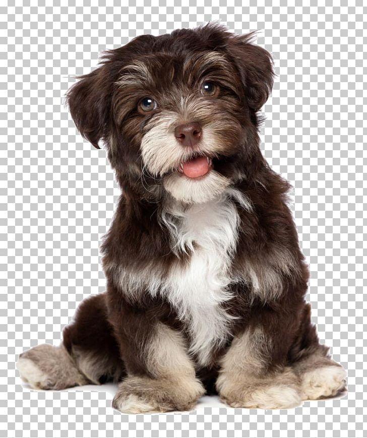 Havanese Dog Bichon Frise Puppy Chocolate Coat PNG, Clipart
