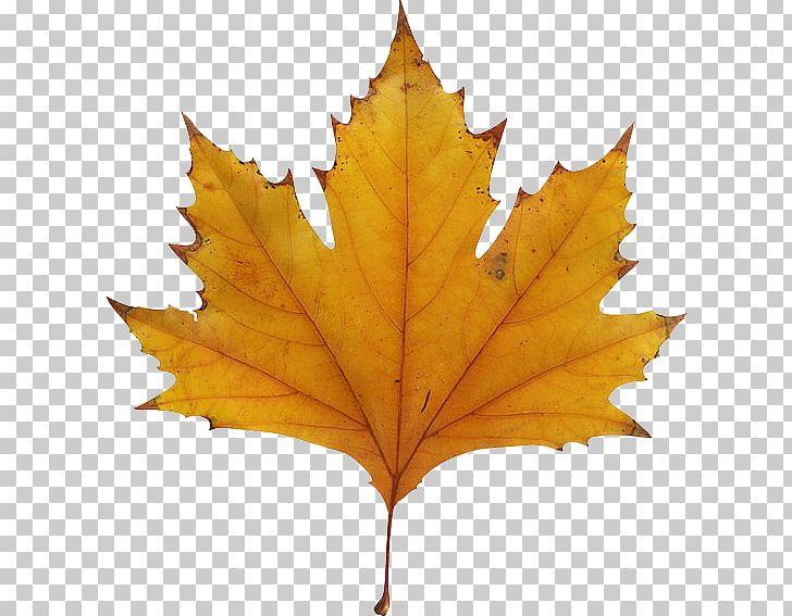 Maple Leaf Autumn Leaf Color PNG, Clipart, Autumn, Autumn Leaf Color, Color, Drawing, Green Free PNG Download