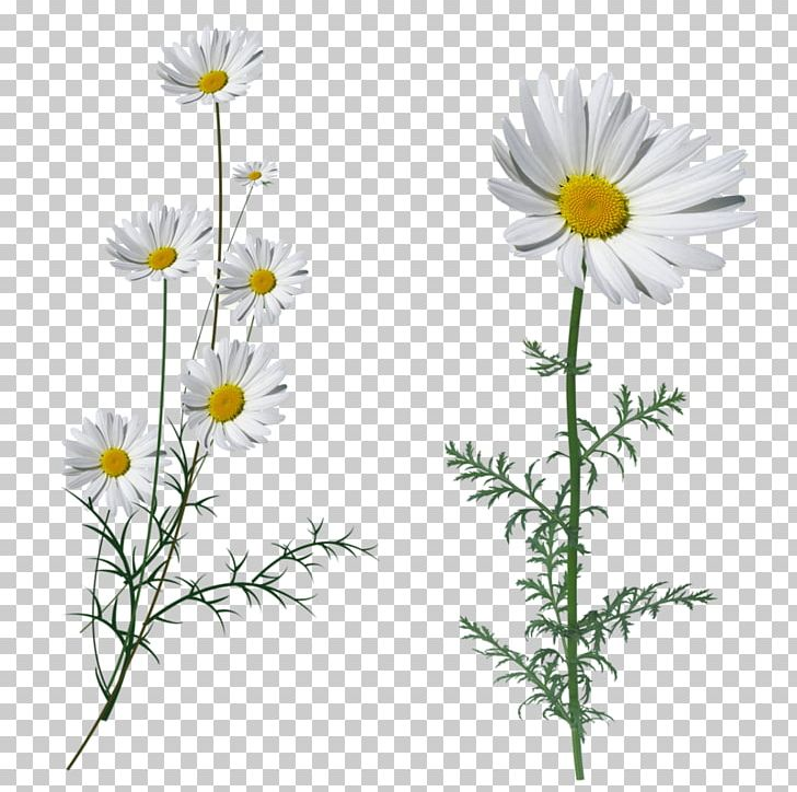 Oxeye Daisy Fleur Blanche White Flower Petal PNG, Clipart, Aster, Chamaemelum Nobile, Chrysanthemum, Chrysanths, Color Free PNG Download