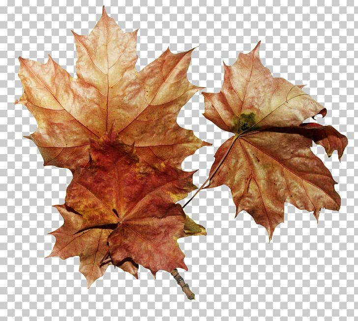 Maple Leaf Autumn PNG, Clipart, Autumn, Autumn Leaves, Bit, Deciduous, Download Free PNG Download