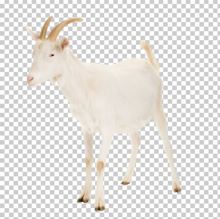 Nigerian Dwarf Goat Cattle Rove Goat Russian White Goat Livestock PNG, Clipart, Caprinae, Cattle, Cow Goat Family, Dairy, Fauna Free PNG Download