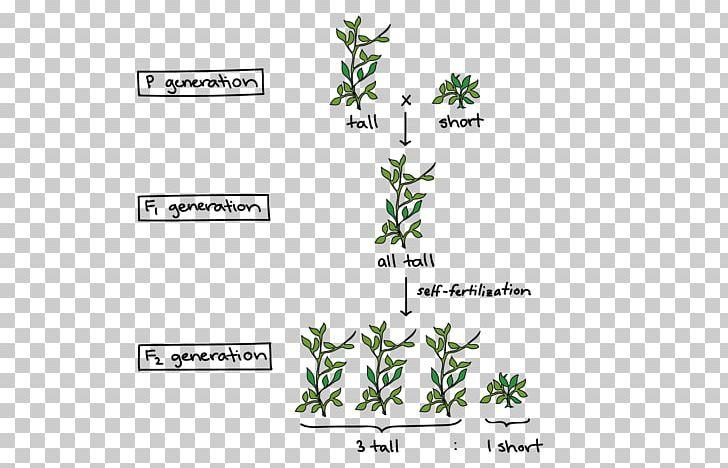 Experiments On Plant Hybridization Mendelian Inheritance Pea Genetics PNG, Clipart, Biologist, Biology, Branch, Brand, Diagram Free PNG Download