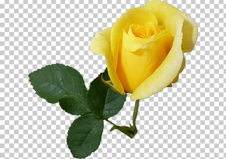 Garden Roses Cabbage Rose Floribunda Austrian Briar PNG, Clipart, Austrian Briar, Cicek, Cut Flowers, Drawing, Floribunda Free PNG Download