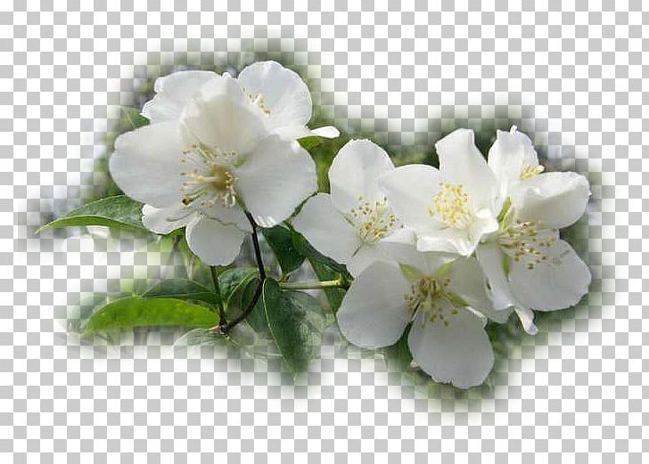 Jasmine Rose Family Cherry Blossom PNG, Clipart, Blossom, Branch, Branching, Cherry, Cherry Blossom Free PNG Download