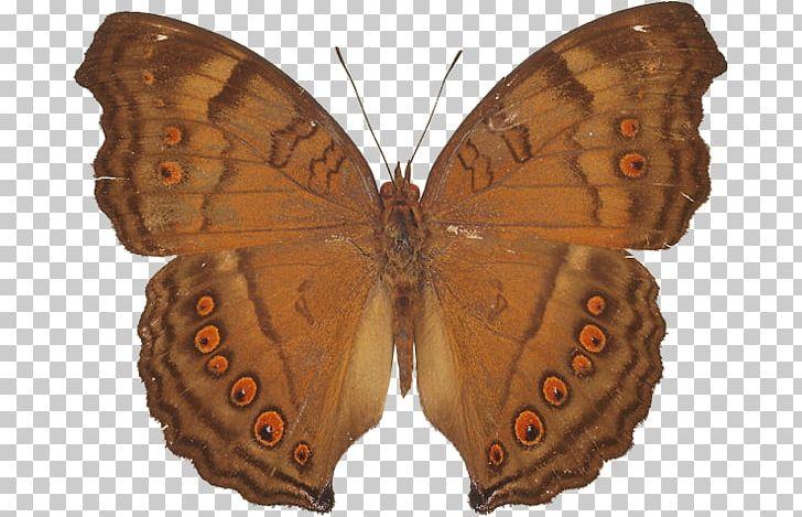 Brush-footed Butterflies Pieridae Gossamer-winged Butterflies Moth