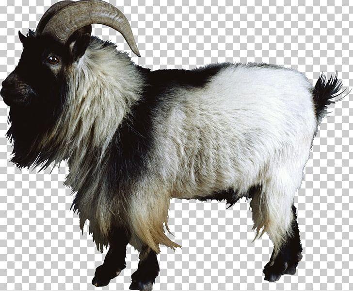 Boer Goat Nigerian Dwarf Goat Cattle Sheep Feral Goat PNG, Clipart, Animal, Animals, Boer Goat, Caprinae, Cattle Free PNG Download