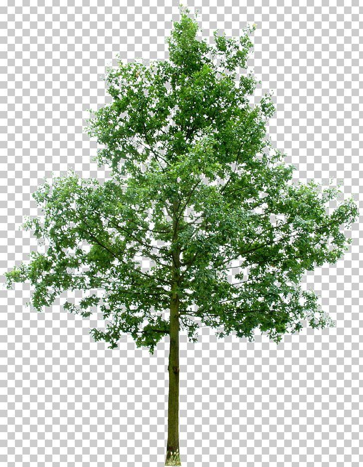 Southern Live Oak Fruit Tree Stock Photography Rendering PNG, Clipart, Bark, Branch, Broadleaved Tree, Fruit Tree, Juglans Free PNG Download