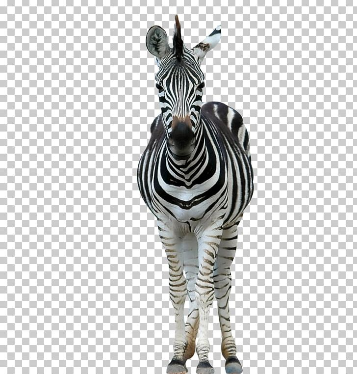 Lion Horse Zebra Wildlife Stripe PNG, Clipart, Animal, Animals, Art, Black And White, Equus Free PNG Download