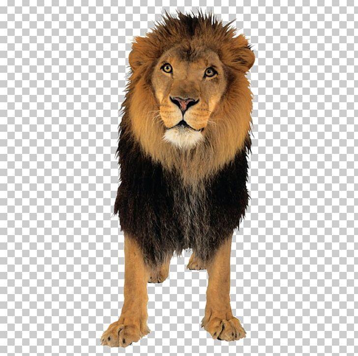Lionhead Rabbit Tiger PNG, Clipart, Animal, Animals, Beast, Big Cat, Big Cats Free PNG Download