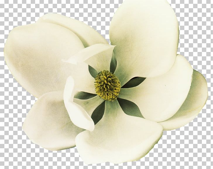 Southern Magnolia Petal Flower White Png Clipart Coreldraw