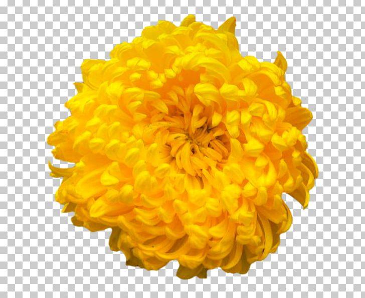 Chrysanthemum Color PNG, Clipart, Calendula, Chrysanthemum, Chrysanths, Color, Cut Flowers Free PNG Download