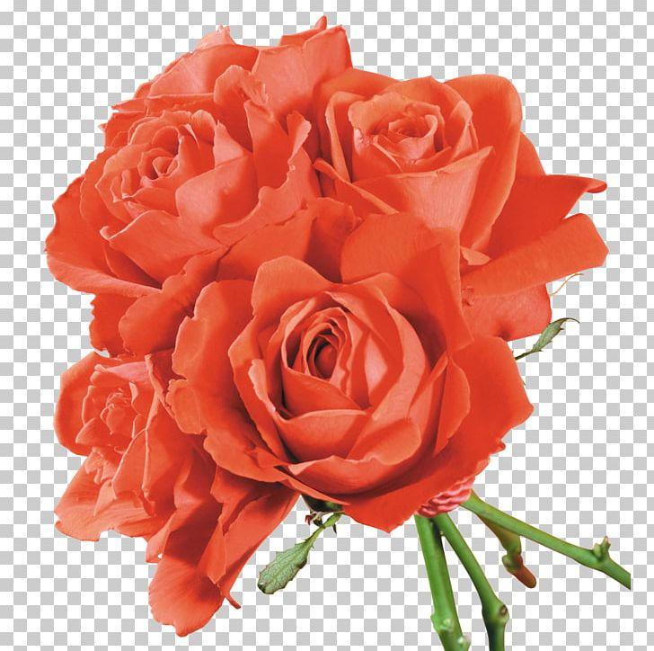 Garden Roses Cabbage Rose Floribunda Floral Design Cut Flowers PNG, Clipart, Cabbage Rose, Cut, Family, Family Film, Floral Design Free PNG Download