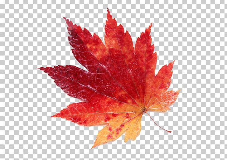 Maple Leaf Color Red PNG, Clipart, Autumn, Color, Encapsulated Postscript, Leaf, Maple Free PNG Download