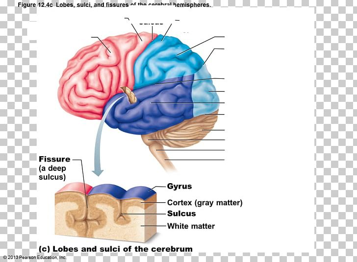 Cerebral Hemisphere Sulcus Lobes Of The Brain Gyrus PNG, Clipart, Anatomy, Brain, Central Nervous System, Cerebral Cortex, Cerebral Hemisphere Free PNG Download
