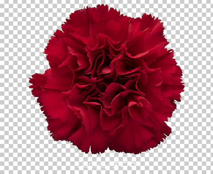 Carnation Cut Flowers Rose Red PNG, Clipart, Blue, Carnation, Cut Flowers, Dianthus, Flower Free PNG Download