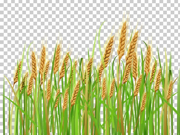 Wheat PNG, Clipart, Wheat Free PNG Download