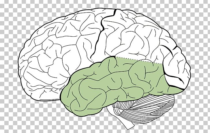 Lobes Of The Brain Parietal Lobe Frontal Lobe Occipital Lobe PNG, Clipart, Angular Gyrus, Area, Brain, Brainstem, Card Free PNG Download