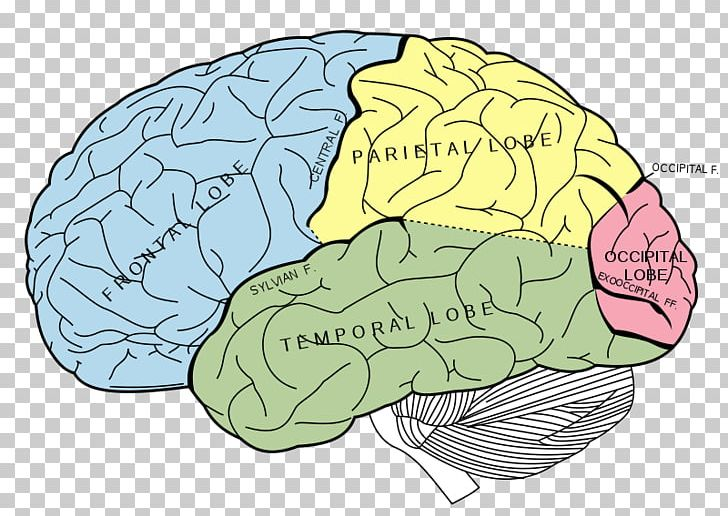 Lobes Of The Brain Occipital Lobe Temporal Lobe Parietal Lobe PNG, Clipart, Anatomy, Area, Brain, Cerebral Cortex, Cerebral Hemisphere Free PNG Download