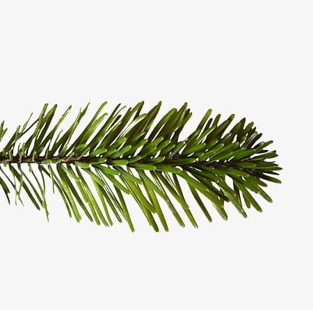 Christmas Branch Png.Christmas Pine Tree Branch Png Clipart Branch Clipart