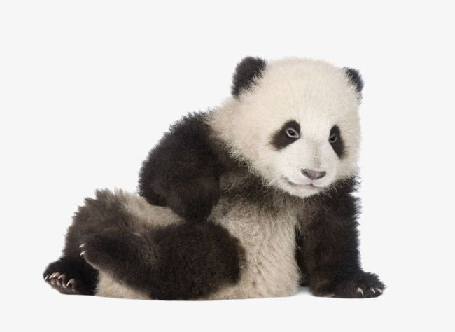 Panda Sitting On The Ground PNG, Clipart, Animal, Animal
