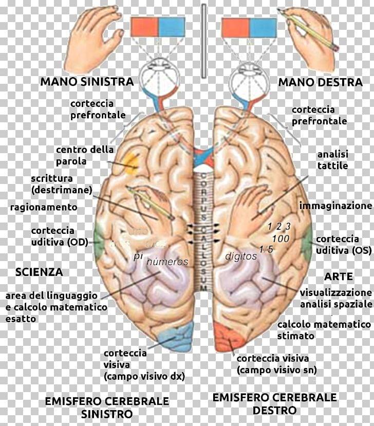brain lateralization test
