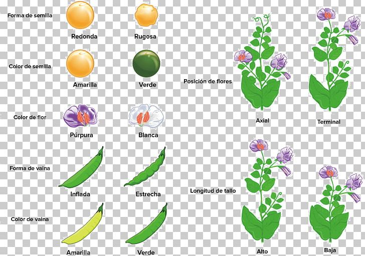 Pea Mendelian Inheritance Monohybrid Cross Plant Phenotypic Trait PNG, Clipart, Allele, Area, Biology, Diagram, Dominance Free PNG Download