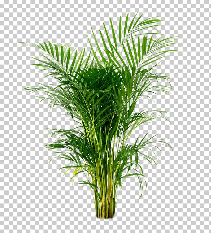palm christmas, palm rats, palm vector, palm chamaedorea seifrizii, palm shoot, palm bamboo, palm leaf chickee, palm roses, palm drawing, palm flowers, palm seeds, palm beetle, palm shrubs, palm bonsai, palm trees, palm leaf cut out, palm tr, palm diagram, palm pattern, palm border, on palm houseplant png