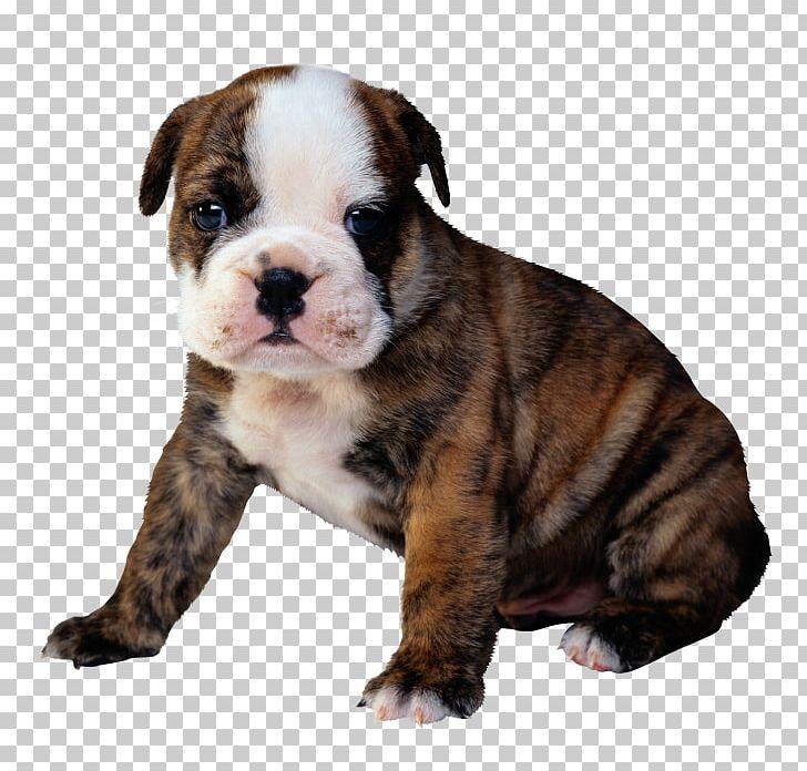 Bulldog Puppy Golden Retriever Kitten Cat PNG, Clipart, American Bulldog, Animals, Australian Bulldog, British Bulldogs, Bulldog Free PNG Download