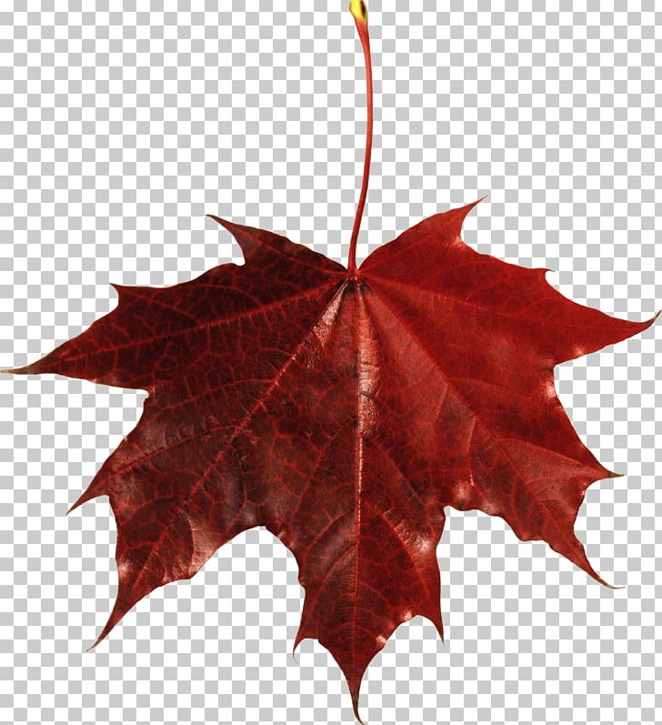 Japanese Maple Autumn Leaf Color Maple Leaf PNG, Clipart, Autumn, Autumn Leaf Color, Autumn Leaves, Computer Icons, Day Free PNG Download