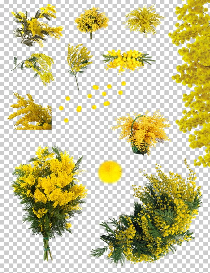 Acacia Dealbata Flower Sensitive Plant Png Clipart Acacia Acacia