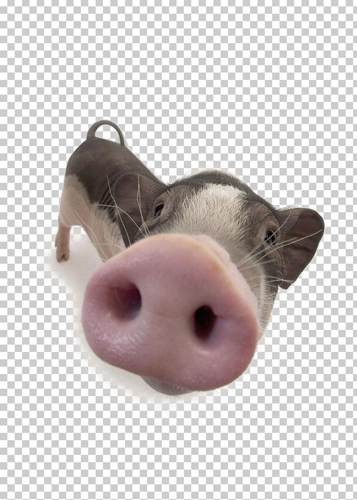 Domestic Pig Nose PNG, Clipart, Animal, Avatar, Big Nose