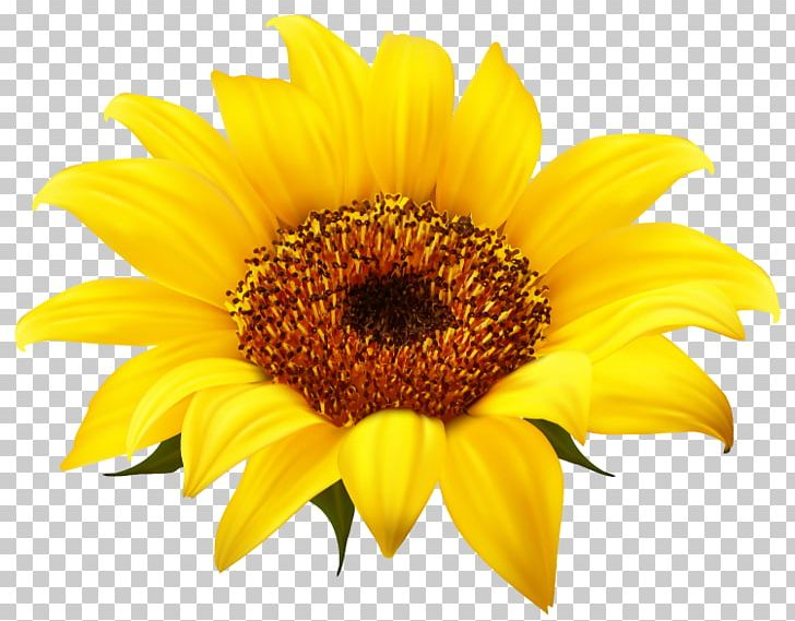 Common Sunflower PNG, Clipart, Common, Common Sunflower, Daisy Family, Download, Flower Free PNG Download