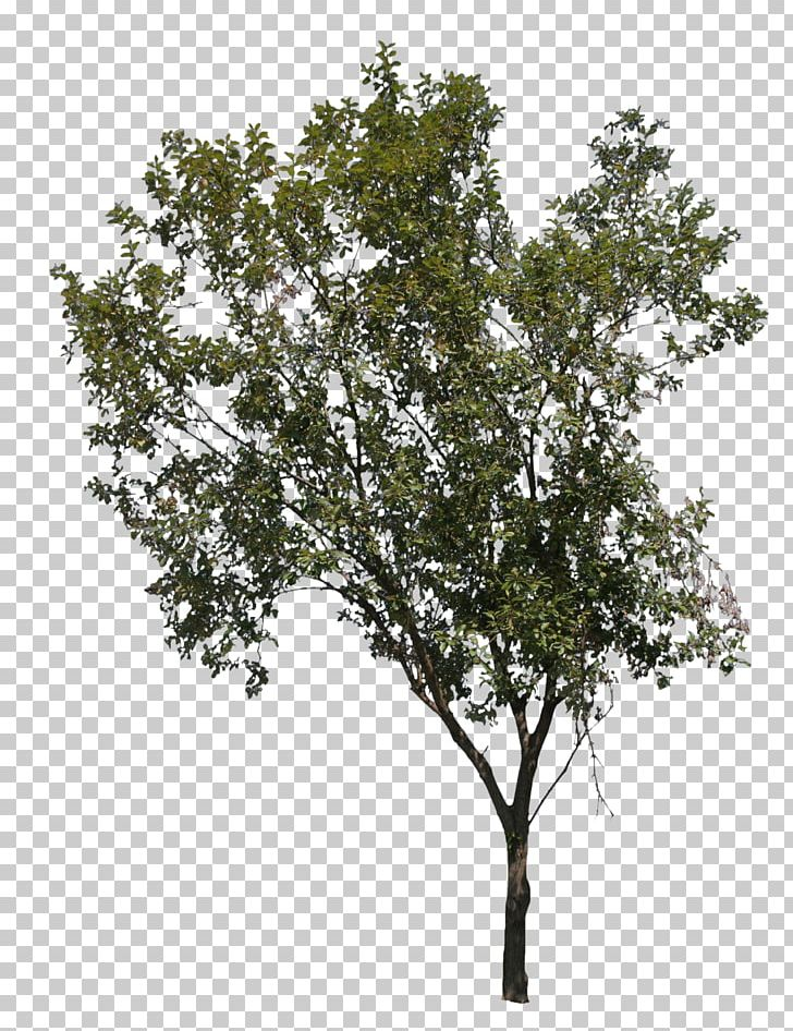 Norway Maple Tree Deciduous Drawing PNG, Clipart, Branch, Clip Art, Deciduous, Drawing, Fruit Tree Free PNG Download