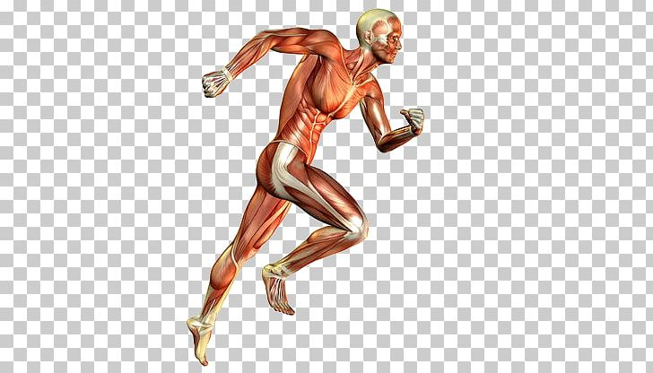 Skeletal Muscle Muscular System Human Body Running PNG, Clipart, Arm, Barefoot Running, Bodybuilder, Endurance, Exercise Free PNG Download